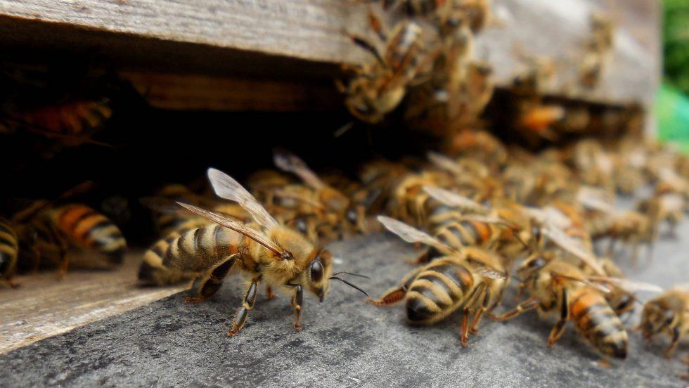 Bienenmärtyrer